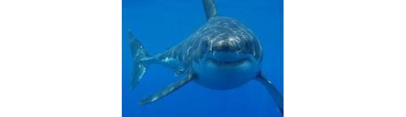 fauci squalo